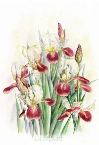 Wenskaart iris
