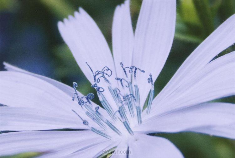 Wk bijbelse planten cichorei