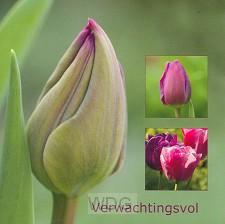 Wenskaart tulp