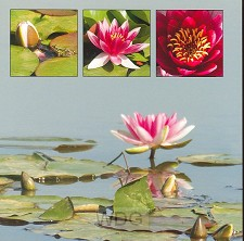 Wenskaart waterlelie roze