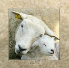 Wenskaart schapen