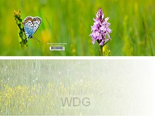 Panoramawenskaart orchidee tussen de bee